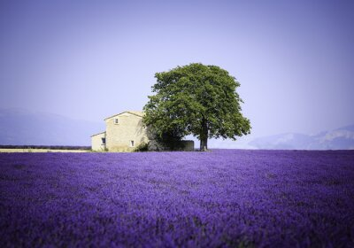Wall mural fields of blooming lavender flowers with old farmhouse - Provence, France