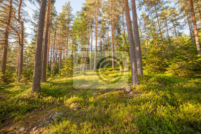 Finnish forest at summer