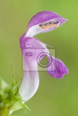flower nettle