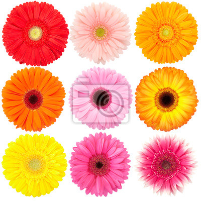 Wall mural Flower of gerber daisy collection isolated on white