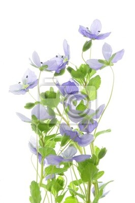 Flower speedwell