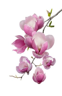 Wall mural Flowering branch of magnolia