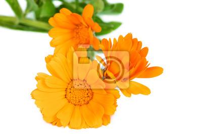 Flowers blooming kalendula