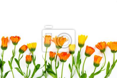 Flowers calendula on white background.