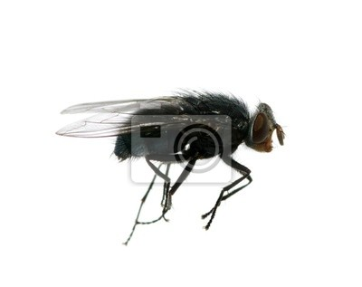 Wall mural fly on a white