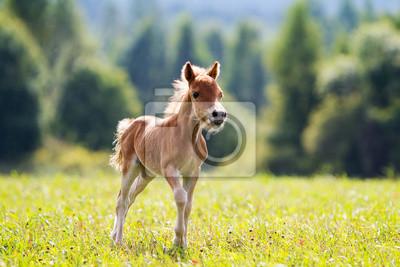 Wall mural foal mini horse Falabella