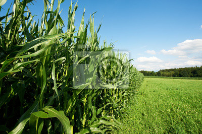 Fodder Corn