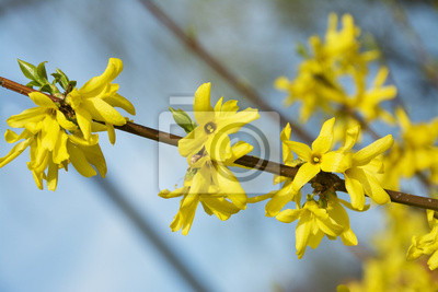 Forsythia A Beautiful Spring Bush With Yellow Flowers Wall Mural