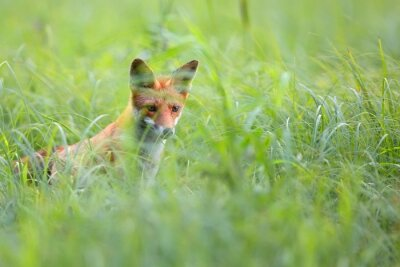 Wall mural Fox hidden in the grass in the wild