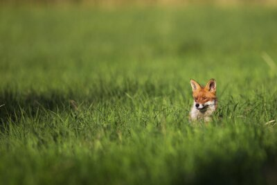 Wall mural Fox in the wild, in a clearing