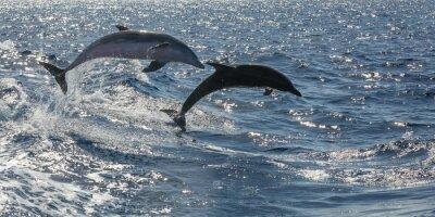 Wall mural frei schwimmende Delfine vor Teneriffa
