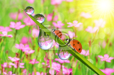 Fresh green grass with dew drops and ladybugs closeup. Nature Background.