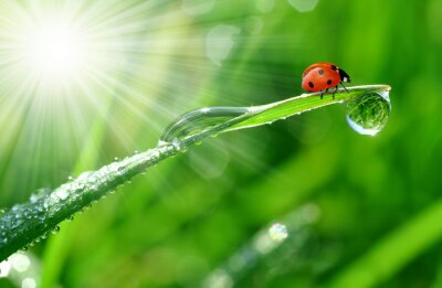 Wall mural fresh morning dew and ladybird