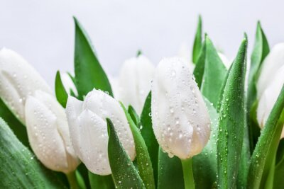 Wall mural Fresh white tulip bouquet with water drops close-up on white background. Spring