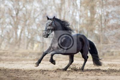 Frisian stallion run on autumn lansdscape