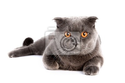 Front view of British shorthair cat, 7 months old, sitting.