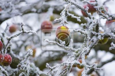 frozen apples on a tree - winter