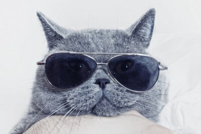 Wall mural Funny muzzle of gray cat in sunglasses