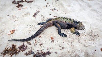 Wall mural Galapagos marine Iguana