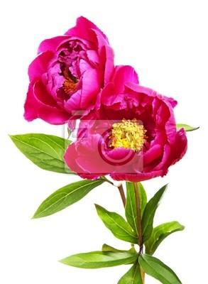 garden peony flowers