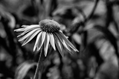 garden with perennials Echinacea - coneflower close up in black and white