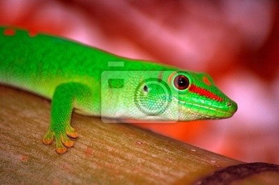 Wall mural Gecko