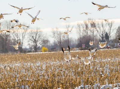 Wall mural Geese come in for a landing over a field of corn