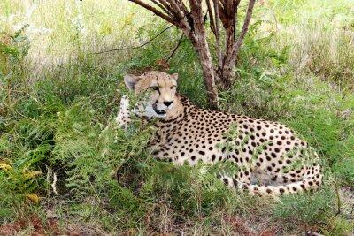 Wall mural Gepard 03
