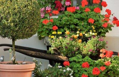 geraniums et autres fleurs ornementales