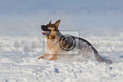 German shepherd dog play in snow