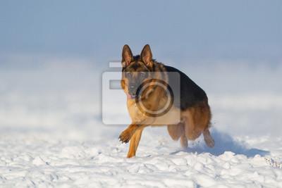 German shepherd dog run in snow
