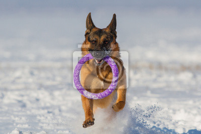 German shepherd running on a snow with a toy