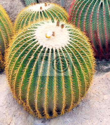 Giant cactus in Nong Nooch Garden, Pattaya, T