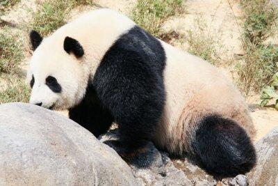Wall mural Giant panda