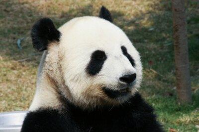 Wall mural Giant panda eating bamboo