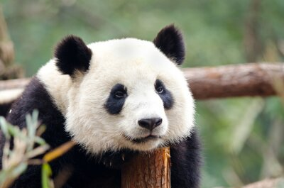 Wall mural Giant Panda - Sad, Tired, Bored looking Pose. Chengdu, China