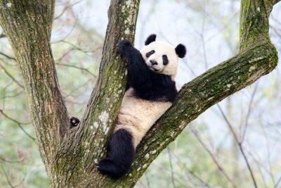 Wall mural Giant Panda Sitting in Tree, Szechuan, China