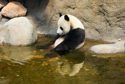 Wall mural Giant panda sitting in water