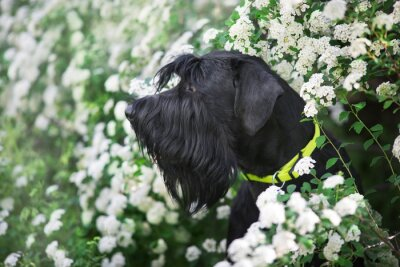 Giant schnauzer dog close up portrait in spring white flowers