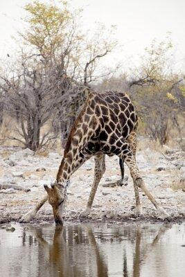 Wall mural Giraffe, Giraffa camelopardalis, in Etosha National Park, Namibia