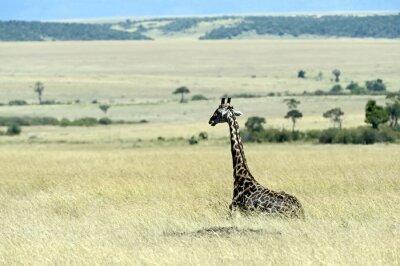 Wall mural Giraffe in the savannah