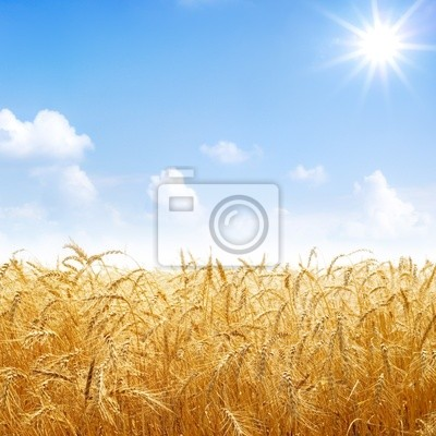 Wall mural Gold wheat