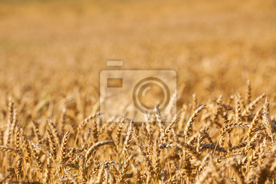 golden color wheat background