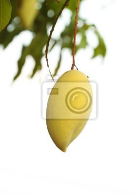 golden mango on tree