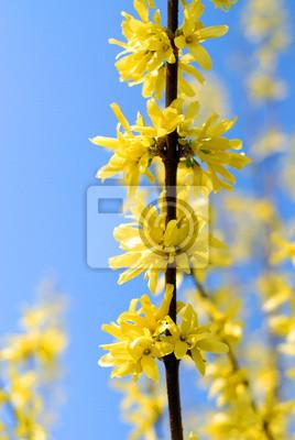 golden rain -  forsythia