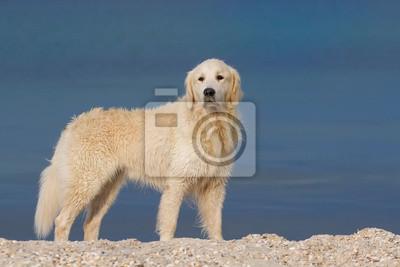 Golden retriever dog standing in sea shore