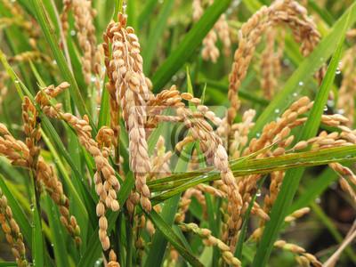 golden rice during autumn season