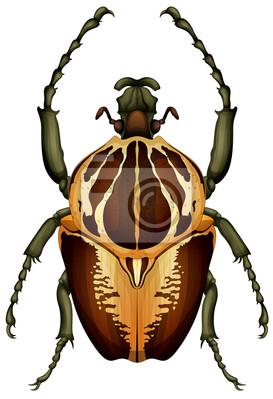 Goliathus regius - Goliath beetle