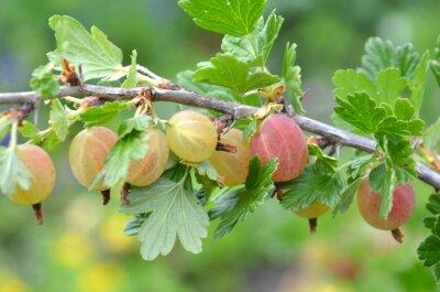 gooseberries gooseberry