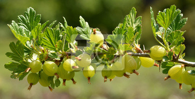 gooseberry gooseberry...